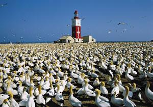 gannets at lighthouse.jpg